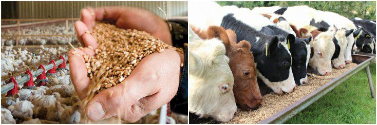 make your own feed pellets for poultry and cattle animals