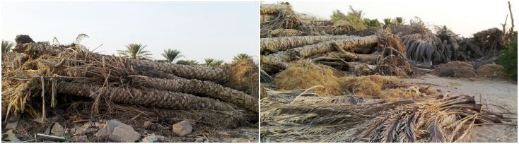 Date Palm Farm , a source of palm waste